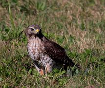 Hawk In Grass