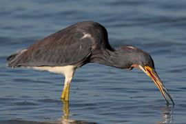Tri-colored Heron 1
