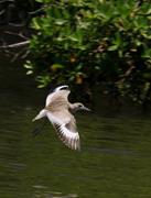 Willet Flying
