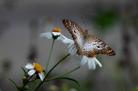 White Peacock Butterfly 1