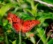 Everglades Butterfly 1