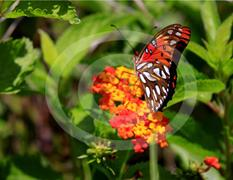 Everglades Butterfly 2